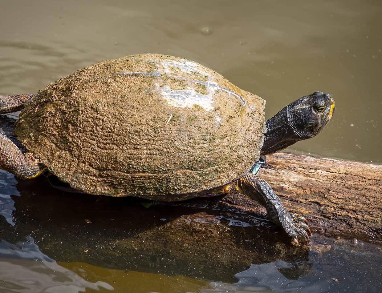 Turtle at Outer Banks National WildlifeRefuge