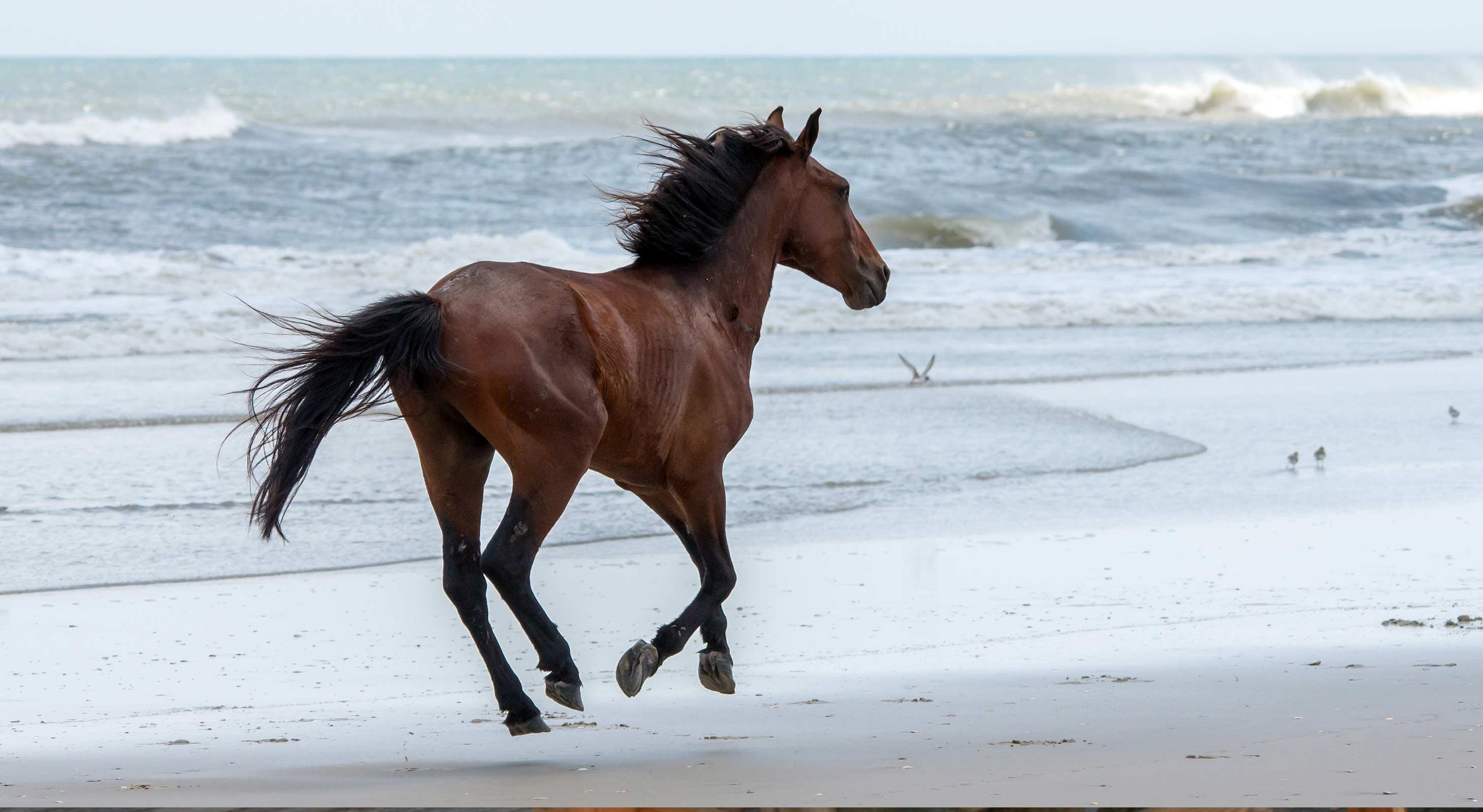 Horse Running on the Beach in North Carolina