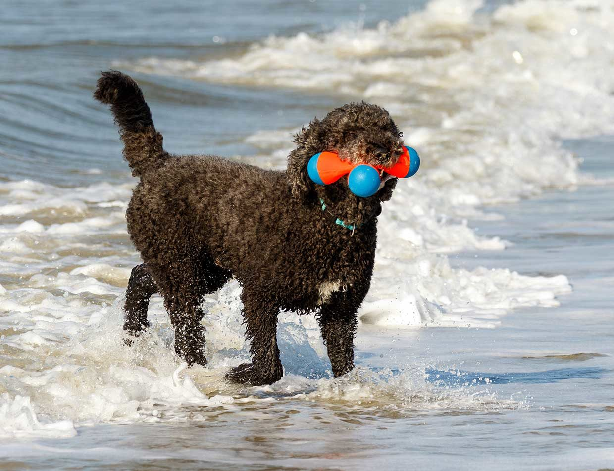 Dog with toy in ocean