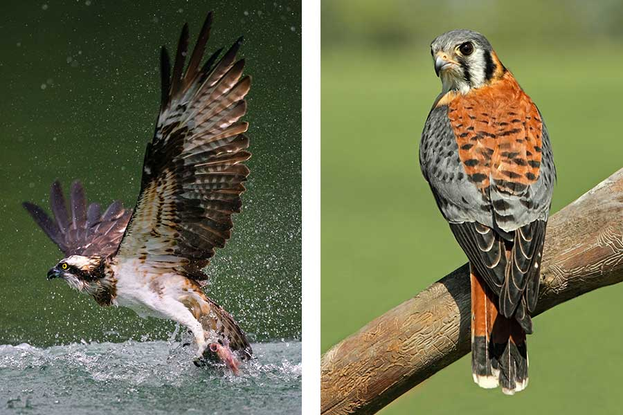 Osprey and Kestrel Spotted During NC Birding