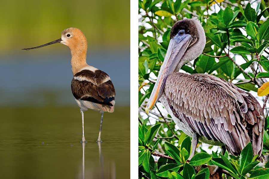 American Avocet & Brown Pelican While Birding on the Outer Banks