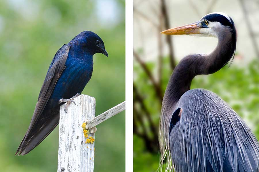 Outer Banks Birding Purple Martin and Great Blue Heron
