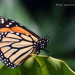 A beautiful blocak and orange monarch butterfly.
