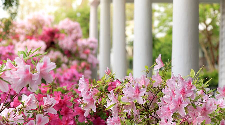 Pink azaleas at our Manteo NC bed and breakfast